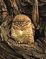 Spotted Owlet Athene brama by Dr. Raju Kasambe DSCN2667 (7).jpg
