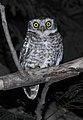 Spotted Owlet Athene brama by Dr. Raju Kasambe DSCN9209 (2).jpg