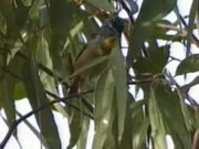File:Spotted Pardalote armstrongck.ogv