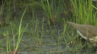 Ficheiro:Spotted Sandpiper (Actitis macularius).webm