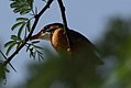 Spotted Wood Kingfisher.jpg