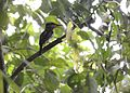 Spotted kingfisher (Actenoides lindsayi) (7184494228).jpg