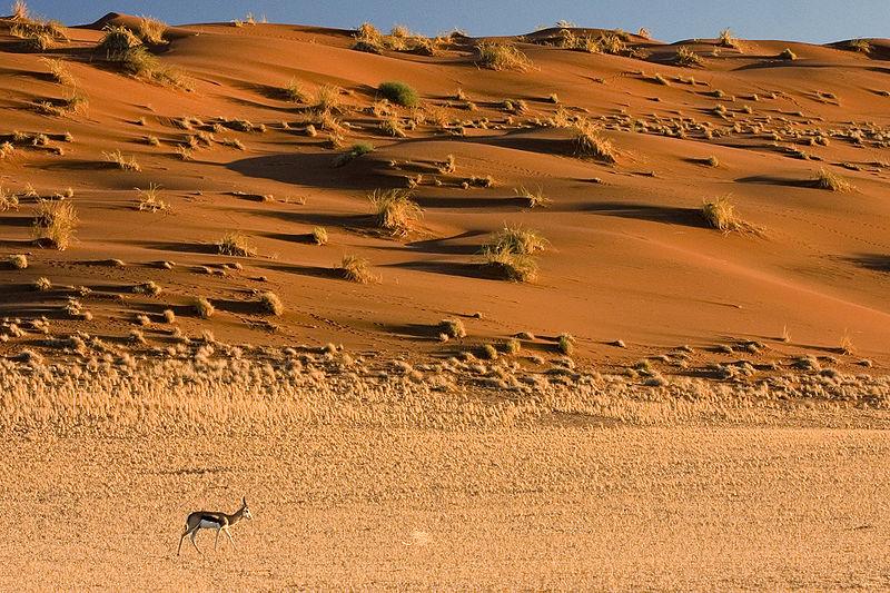 File:Springbok Antelope Sossusvlei Namib Desert Namibia Luca Galuzzi 2004.JPG