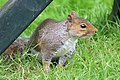 Squirrel - June 2008 (3132680721).jpg