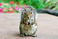 Stand up squirrel (2897677450).jpg