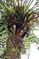 Stangeria eriopus 7zz.jpg