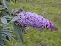 Starr-010717-0047-Buddleja davidii-flowers-Kula-Maui (23904853664).jpg