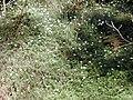 Starr-020221-0038-Erigeron karvinskianus-flowering mat-Polipoli-Maui (24178844409).jpg