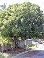 Starr-020617-0015-Filicium decipiens-habit street tree-Kihei-Maui (24182125949).jpg