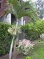 Starr-030612-0097-Veitchia merrillii-habit-Kahului-Maui (24635344385).jpg