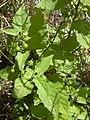 Starr-040330-0409-Solanum americanum-flowers and fruit-Puu Moaulaiki-Kahoolawe (24332572949).jpg