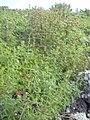 Starr-040331-0014-Zinnia peruviana-habit-Kanaio-Maui (24606835171).jpg