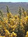 Starr-041211-1431-Ulex europaeus-flowers-Puu Nianiau-Maui (24094342863).jpg