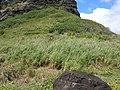 Starr-050419-6538-Digitaria insularis-habit-Mokolii-Oahu (24628450122).jpg