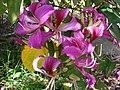Starr-061109-1477-Bauhinia x blakeana-flowers-Kokomo Rd Haiku-Maui (24842491946).jpg