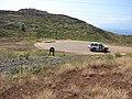 Starr-070206-4227-Clusia rosea-plantings in new subdivisions-Launiupoko-Maui (24586303070).jpg