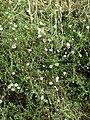 Starr-070908-9439-Erigeron karvinskianus-flowering habit-Polipoli-Maui (24775334022).jpg