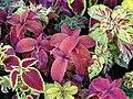 Starr-080103-1142-Plectranthus scutellarioides-habit-Lowes Garden Center Kahului-Maui (24270882264).jpg