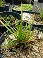 Starr-080608-7394-Cyperus polystachyos-in pots-FWS Greenhouse Sand Island-Midway Atoll (24916119795).jpg
