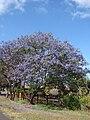 Starr-090513-7525-Jacaranda mimosifolia-flowering habit-Haleakala Hwy Kula-Maui (24587049319).jpg
