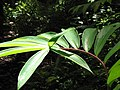 Starr-090623-1468-Costus speciosus-leaves-Nahiku-Maui (24940308316).jpg