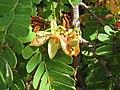 Starr-090720-2971-Tamarindus indica-flowers and leaves-Waiehu-Maui (24343144453).jpg