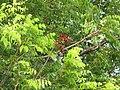 Starr-090806-4048-Pterocarpus indicus-leaves-Kahului-Maui (24676318180).jpg