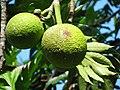 Starr-091104-0775-Artocarpus altilis-fruit-Kahanu Gardens NTBG Kaeleku Hana-Maui (24360713933).jpg