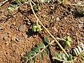Starr-091106-9365-Tribulus terrestris-fruit and leaves-Kanaha Beach-Maui (24962787156).jpg