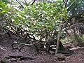 Starr-100206-1924-Aleurites moluccana-habit in gulch-Olinda-Maui (24982382466).jpg