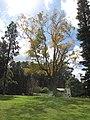 Starr-110209-0958-Carya illinoinensis-habit fall colors-MISC Piiholo-Maui (24956914602).jpg