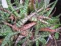 Starr-110218-1559-Aloe rauhii-habit-Ulana St Makawao-Maui (24780906260).jpg