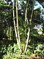Starr-110330-3903-Chrysalidocarpus lutescens-habit-Garden of Eden Keanae-Maui (24454048343).jpg