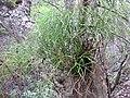 Starr-120229-3096-Psilotum nudum-habit-Waikapu Valley-Maui (24505844304).jpg
