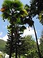 Starr-120522-6336-Pritchardia thurstonii-fruiting habit-Iao Tropical Gardens of Maui-Maui (25025269072).jpg