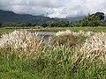 Starr-130322-3840-Zizania latifolia-habit-Hanalei NWR-Kauai (25183458316).jpg