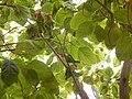 Starr-140711-1038-Cordia subcordata-tree with love birds-Kanani Rd Kihei-Maui (25151297171).jpg