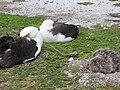 Starr-150403-1451-Coronopus didymus-Laysan Albatrosses napping-Central Eastern Island-Midway Atoll (24650962983).jpg