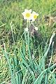 Starr-990107-3128-Narcissus tazetta-flowers-Polipoli-Maui (24442918011).jpg