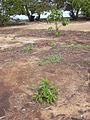 Starr 040123-0026 Myoporum sandwicense.jpg