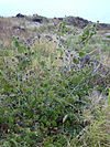 Starr 040514-0250 Abutilon grandifolium