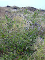 Starr 040514-0250 Abutilon grandifolium.jpg