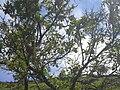 Starr 040522-0021 Santalum freycinetianum var. lanaiense.jpg