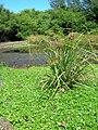 Starr 050717-2812 Cyperus javanicus.jpg