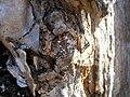 Starr 051119-5237 Nestegis sandwicensis.jpg