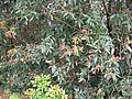 Starr 060422-9432 Syzygium jambos.jpg