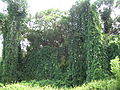 Starr 060810-8511 Thunbergia grandiflora.jpg