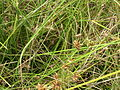 Starr 061108-9646 Cyperus trachysanthos.jpg