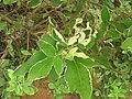 Starr 061114-9856 Vitex trifolia.jpg
