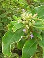 Starr 061114-9857 Vitex trifolia.jpg